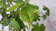 Wandelndes Blatt - Phyllium Letiranti Tataba