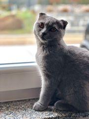 Reinrassige Scottish Fold Katze