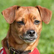 Moffylein 9 Jahre - Chihuahua-Rehpinscher-Mix - Tierhilfe