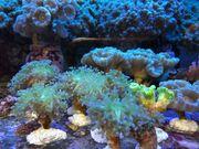 Korallen Ableger SPS LPS Euphylia