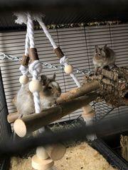 zwei liebevolle Degus mit Käfig