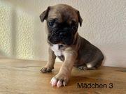 Französische Bulldoggen Welpen ein kleines