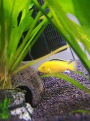 Yellow Malawibarsch Barsch Labidochromis