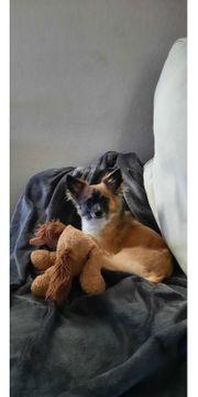Deckrüde Chihuahua- Jack Russel