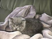 BKH Kitten in grau