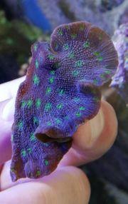 Meerwasser Echinopora lps Steinkoralle lila