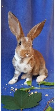 Liebevoller Rex Kaninchen Rammler Baby