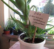 Aloe Heilpflanzen Arbekonsenz