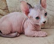 Kleines blauäugiges Bambino Kitten sucht