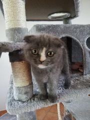 British Kurzhaar Kitten zu verkaufen