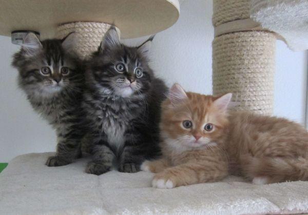 Maine Coon - Katzenbabys - 4 kleine