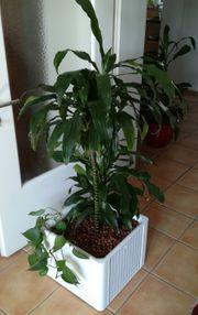 Palme in Hydrokultur