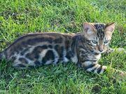 2 Schöne Bengal Kätzchen sucht
