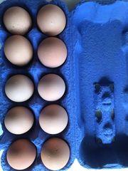 Lohnbrut Hühner und Wachtelküken