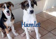 Ruhiger griechischer Hirtenhund-Mischling Hamlet
