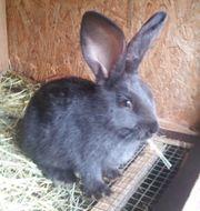 Kaninchen Kinder - Jungtieren