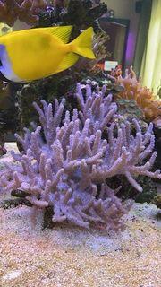 Diverse Meerwasser Ableger Korallen