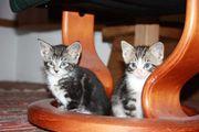 Maine Coon -Mix Kitten mehrfach