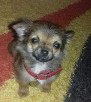 reinrassige Chihuahua Mini