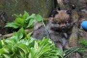 Pomeranian-Zwergspitzwelpen