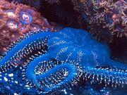 Meerwasser Ophiarachna incrassata Olivgrüner Schlangenstern