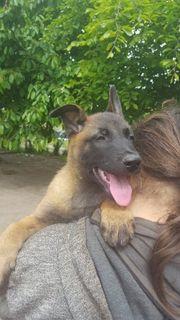 Belgische Schäferhunde Mallinois Welpen 100