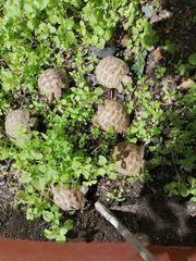 Landschildkröten Verkaufe russische Vierzehenschildkröten