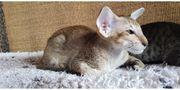 Orientalisch Kurzhaar Kitten mit Papiere