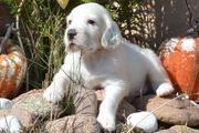 English Setter Welpen