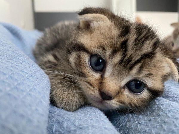 2 BKH Scottish Kitten