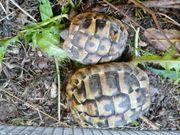 Griechische Landscghildkröten