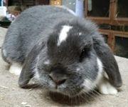 Kaninchen Widder Zwergwidder blau-weiß drei