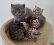Bkh Kitten reinrassig geimpft Abgabebereit