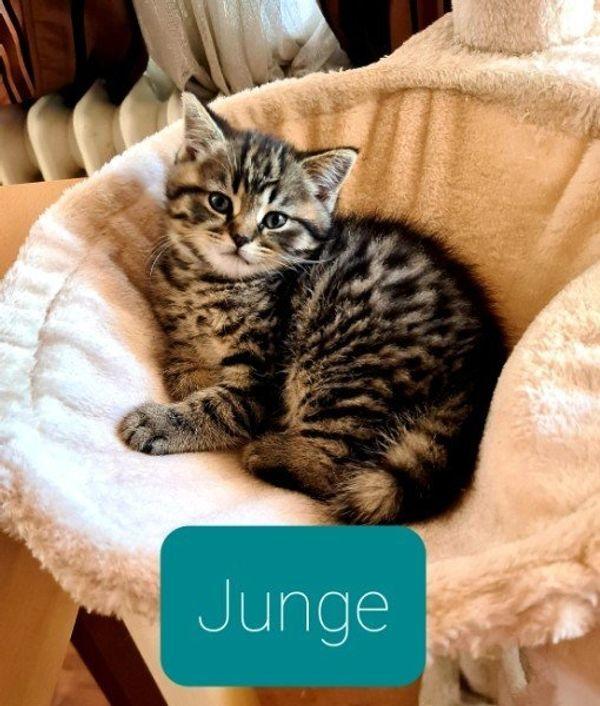 BKH Kitten / Scottish Fold Kitten