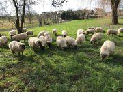 Schafe zu verkaufen