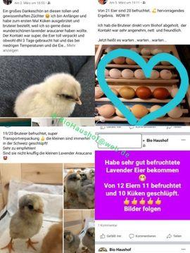 Englische Araucana Lavender Bruteier Grün-: Kleinanzeigen aus Pfarrkirchen - Rubrik Nutztiere