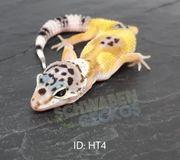 Leopardgeckos - verschiedene Farbformen