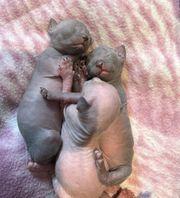 Sphynx Kitten 3 Mädchen 2