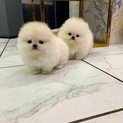 Pomeranian Rüden