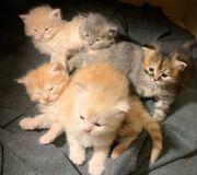 meine Coon mix Baby Katze