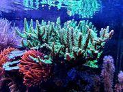 Diverse Korallenableger SPS LPS Gorgonie