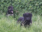 Altdeutsche Schäferhund Welpen