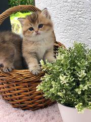 BKH Kitten black golden