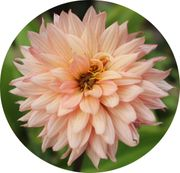 Biete Dahlien Pflanzen Blumen