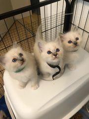 Wunderschöne Reinrassige Heilige Birma Kitten