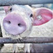 Dänisches Schwein