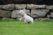 Französische Bulldogge Hündin Pied weiss