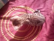 3 wunderschöne Bengal-Kitten