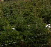 Christbäume Weihnachtsbäume und Tannengrün zu