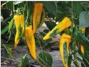Gelbe Spitzpaprika Samen